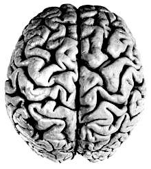 ludzki mózg - półkule